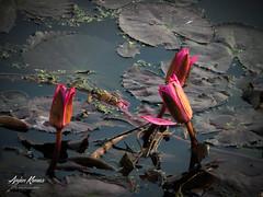 Lalbagh Lotus (anju2794) Tags: show morning lake flower water lotus bangalore flowershow devine lalbhag