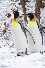 234A6339.jpg (Mark Dumont) Tags: birds animals zoo penguin king mark cincinnati parade dumont