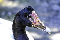 Magpie Goose Portrait