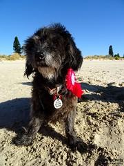 DSC03501-3 (ScootaCoota Photography) Tags: birthday dog beach animal mutt