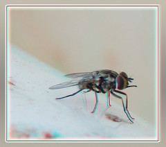 Stomoxys Calcitrans, Stable Fly on Horse Water Tub 1 - Anaglyph 3D (DarkOnus) Tags: horse macro water closeup insect lumix fly stereogram 3d day pennsylvania anaglyph panasonic stereo tub friday stable stereography buckscounty stomoxys hfdf calcitrans flydayfriday dmcfz35