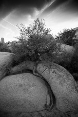 making it out (LavyBpositive) Tags: california park tree rock desert joshua roots alb twisted piatra copac negru