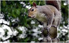 Hydrophobia! :-) (lukiassaikul) Tags: shadow plants reflection animal rodent squirrel digitalpainting imagemanipulation vermin greysquirrel photopainting watereffect creativephotography floodeffect