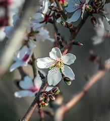 Flor d'ametller (ibzsierra) Tags: canon flor ibiza 7d eivissa baleares almendro 100400isusm dametller