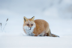 Red fox (Phiddy1) Tags: winter ontario canada brrrrr redfox 29c