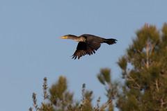 Comerant in Flight (lybrand) Tags: birds us flying unitedstates lasvegas wildlife nevada sunsetpark comerant