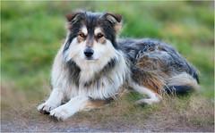 Sheepdog (Simply Viola) Tags: dog animal sheepdog gregge canepastore