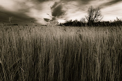 The Old Reed Mood (Alfred Grupstra Photography) Tags: trees light sky blackandwhite bw reed clouds landscape nikon