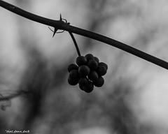 Winter Berries (that_damn_duck) Tags: bw nature blackwhite berries unitedstates southcarolina