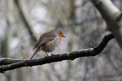 Robin 1 (Jemma Graham) Tags: uk england robin birds woodland birmingham woods britain robins bog moseley moseleybog