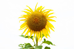 (davfoto*) Tags: plants naturaleza plant planta nature colors landscape landscapes nikon plantas colours natura paisaje colores sunflowers sunflower girasol naturephotography natureart girasoles naturesfinest naturesart davfoto davidramalleira d700 davidramalleiraphotography
