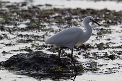 IMG_7128 (armadil) Tags: bird beach birds beaches egret snowyegret mavericks egrets snowyegrets californiabeaches