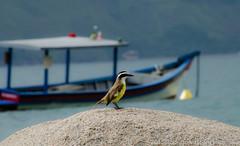 Bentivi (rodengelet) Tags: ilhabela brasilemimagens brasil pssaros aves gua litoral praias americadosul nikon d7000 lens55300nikkor nature naturezaobradedeus atravsdaminhalente nikkor fotografemelhor fotografosbrasileiros fotografo birds water aguas barco flickr flickrglobal