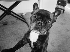 Pleading (Lainey1) Tags: bw dog monochrome funny oz sony humor adorable bulldog frenchie frenchbulldog pathetic begging ozzy pleading frogdog lainey1 zendog elainedudzinski sonya6000 ozzythefrenchie