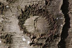 Beech  Bark Textre (gripspix (OFF)) Tags: texture bark beech rinde buche textur 20160224