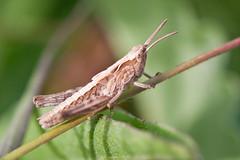 Meadow_Chorthippus-parallelus-instar-IV (skully_bob) Tags: insect grasshopper orthoptera cambridgeshire invertebrate devilsdyke