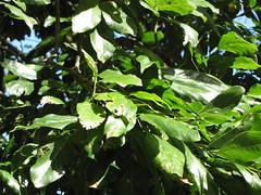 starr-091104-9054-Castanospermum_australe-leaves-Kahanu_Gardens_NTBG_Kaeleku_Hana-Maui (Starr Environmental) Tags: castanospermumaustrale
