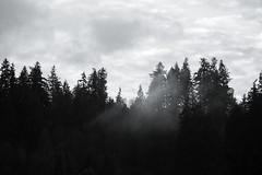 Misty trees. Bothell, WA. February 10, 2016. (poopoorama) Tags: trees blackandwhite mist birds clouds washington unitedstates bothell dannyngan nikond600 nikoncorporation dannynganphotography