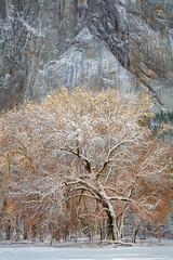 Mother (Charlotte Hamilton Gibb) Tags: california winter cliff snow tree yellow rock oak meadow yosemite yosemitevalley