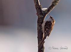 Puukiipijä, Certhia familiaris (Paavo Laine) Tags: birds talvi eurasian lintu treecreeper pikkulintu