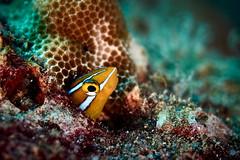 FLA-160202-ND800-6918 (ferlopez) Tags: usa fish underwater marinelife makena blenny mauihawaii plagiotremusewaensis ewafangblenny