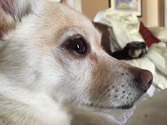 Nemo is deep in thought this morning. (fschaub3) Tags: dog pets dogs puppy puppies pomchi