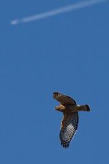 Coopers Hawk 2-28-2016-7 (Scott Alan McClurg) Tags: life winter wild bird nature animal fly flying back backyard hawk wildlife flight bluesky aves neighborhood raptor soaring flapping coopers flap soar carnivore coopershawk naturephotography accipiter accipitridae accipitriformes acooperii