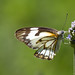 Brown Veined White Butterfly (Belenois aurota)