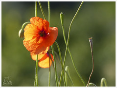 Amapola (Paulina58) Tags: flor panasonic campo paulina airelibre amapola paulina58
