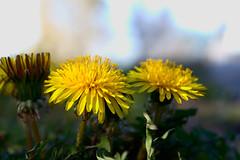 20160331_0036 (mystic_violet) Tags: vienna wien flower yellow austria sterreich spring gelb blume frhling lwenzahn schneswetter gewhnlicherlwenzahn taraxacumsectruderalia nikond3300 darktable