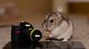 om nomm nomm nomm (dn_o) Tags: pet pets cute rodent nikon sweet adorable indoor hamster petportrait dwarfhamster petphotography nikkor50mm nikoneurope nikond610 nikonlifeeu
