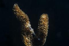 Caspian fork (Limnomysis benedeni) (Arne Kuilman) Tags: lake macro netherlands nederland shrimp diving resting sponge crustacean 771 duiken garnaal spons spiegelplas limnomysisbenedeni