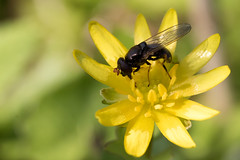 Cheilosia pagana / Kervelgitje (peter.lindenburg) Tags: hoverfly syrphidae zweefvlieg valkenburgsemeer cheilosiapagana kervelgitje
