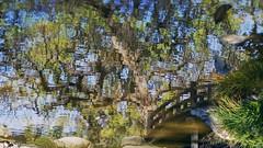 Unfurled beneath a clear blue pond (PeterThoeny) Tags: california wood bridge lake distortion reflection tree green nature wet japan garden japanesegarden pond raw arch upsidedown outdoor saratoga wave hdr woodbridge hakonegardens fishview archbridge photomatix wetreflection fav100 fishperspective 1xp nex6 sel50f18