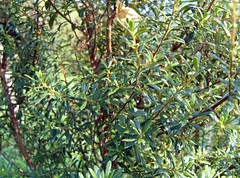 Diospyros pubescens Pers. 1807 (EBENACEAE) (helicongus) Tags: spain diospyros ebenaceae jardnbotnicodeiturraran diospyrospubescens