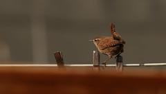 Wren (Phil Everett Photography) Tags: nature birds canon wren mkii gardenbirds 100400 ukwildlife