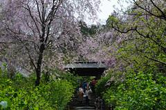 20160410-DSC_7536.jpg (d3_plus) Tags: sky plant flower history nature japan trekking walking temple nikon scenery shrine bokeh hiking kamakura fine daily bloom  28105mmf3545d nikkor    kanagawa   shintoshrine   buddhisttemple dailyphoto sanctuary   thesedays kitakamakura  28105   fineday   28105mm  holyplace historicmonuments  zoomlense ancientcity        28105mmf3545 d700 281053545 nikond700  aiafzoomnikkor28105mmf3545d 28105mmf3545af aiafnikkor28105mmf3545d