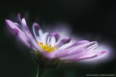 leichte Brise (Erwin Lorenzen) Tags: pink flowers flower nature beauty germany spring flora natur rosa elo blume makro blte garten frhling margerite argyranthemumfrutescens saveearth canoneos5dmarkii