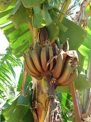 Musa acuminata (Musaceae) (jccsvq) Tags: plantas tenerife musaceae palmetumsantacruz