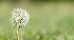 Make a wish... (Wouter de Bruijn) Tags: flower nature wind bokeh blow dandelion seeds depthoffield fujifilm wish xt1 fujinonxf35mmf14r