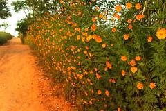 Cósmo-amarelo, picão-grande, áster-do-méxico, picão (7020) (Jorge Belim) Tags: flora flor 70200 canoneos7d