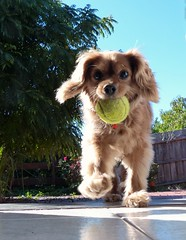 A happy Toby with his toy (PsJeremy) Tags: cute ball catch pooch brighteyes bushytail cavoodle toydogwithadogtoy