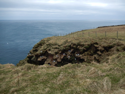 Flock of fulmars at Duncansby Head -- photo 1
