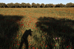 Poppies Job_2016 (@ntomarto) Tags: flowers shadow italy flower nature grass italia ombra natura campagna poppy poppies fiori fiore prato papavero antomarto ntomarto