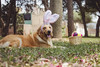 (Tc photography.Perú) Tags: pink dog pet pets color cute rabbit bunny dogs smile goldenretriever 35mm canon easter golden costume happiness ears pascua kawaii easterbunny retiever tcphotography