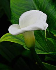 Cala blanca. (jagar41_ Juan Antonio) Tags: flores planta blanco flora flor calas cala