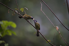 N81_0337 (Niklas_N) Tags: china nature birds wildlife yunnan kina d810 forrestbird nikkorafs500mmf4edvr