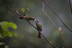 Crested-finchbill-N81_0337 (Niklas_N) Tags: china nature birds wildlife yunnan kina d810 forrestbird nikkorafs500mmf4edvr