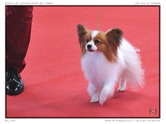 DSC_7437 (animalpicture.fr) Tags: de nikon canine exposition internationale centrale limoges d300 2016