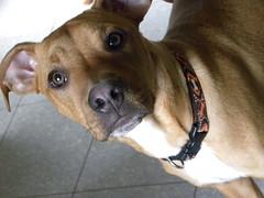 Wyatt (happy_hounds) Tags: dogdaycare dog daycare puppy pups boarding cagefree dogsofflickr purebred rescuedog happyhounds plymouthmichigan happyhoundsdogdaycare